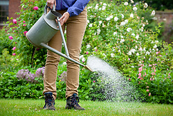 Feeding a lawn using a watering can to apply liquid feed.