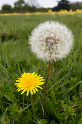 Wide-angle close up of a dandelion flower and seed-head (Taraxacum officinale) growing in an open grassy field in Norfolk in early spring