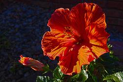 10 July 2014:   Lillies