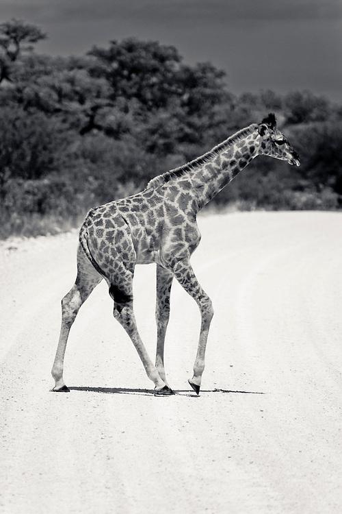 Baby Giraffe shuffels across the road. Etosha N.P. Namibia.