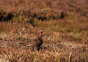 A red grouse on the upland moorland of Strathdearn in Scotland, lit by the late afternoon sun. Even with good lighting, the bird is very well camouflaged.