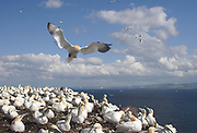 Northern Gannet, Morus bassanus, trying to land in the Colony, Bass Rock, Firth of Forth, Scotland