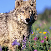 Gray Wolf, (Canis lupus) Adult in flowers. Rocky Mountains. Montana.  Captive Animal.
