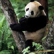 Giant Panda, (Ailuropoda melanoleuca) In tree. Wolong Natural Reserve. Sichuan, China. Captive Animal.