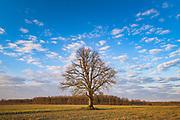 Lone oak tree (Quercus robur) standing in the middle of fields in sunny spring morning, near Dzelda, Kurzeme, Latvia Ⓒ Davis Ulands | davisulands.com