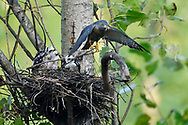 Chinese Sparrowhawk, Accipiter soloensis, flying from its nest with chicks, Guangshui, Hubei province, China