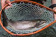 Jack king salmon