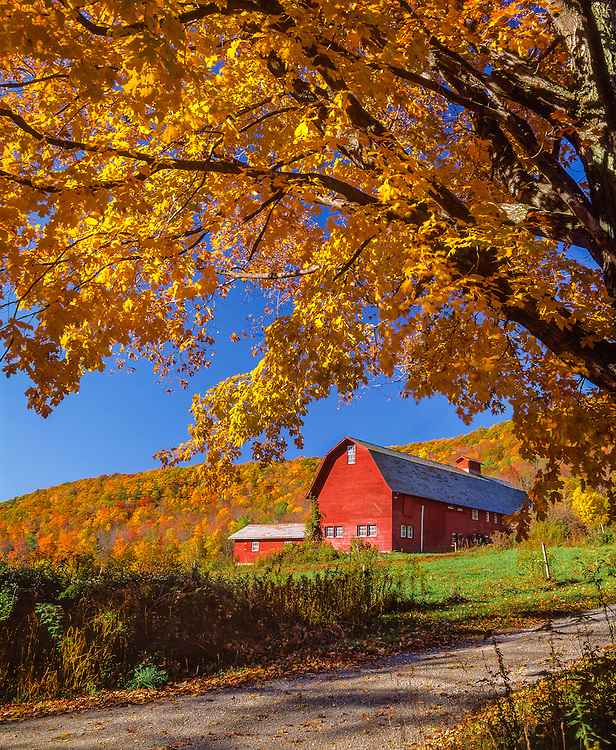 Red gambrel barn & sugar maples in fall foliage, colorful hillside beyond, Bennington, VT
