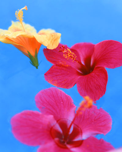 Hibiscus flowers float in a pool