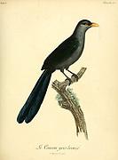 Coucou gris bronzé, (Bronzed gray cuckoo) from the Book Histoire naturelle des oiseaux d'Afrique [Natural History of birds of Africa] Volume 5, by Le Vaillant, Francois, 1753-1824; Publish in Paris by Chez J.J. Fuchs, libraire 1799