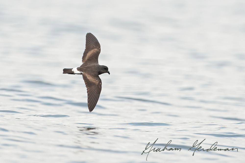 A Band-rumped Storm-Petrel flying over the waters of Pickwick lake in Southern Tennessee. A very rare, always storm-driven vagrant, this small pelagic bird was blown up to Tennessee by Hurricane Laura in August, 2020.