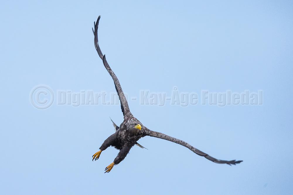 White-tailed Eagle in flight was captured today at Herøyfjord-Norway, nearby Flatholmen.  | Havørn i luften vart tatt idag i Herøyfjorden-Norge, like ved Flatholmen.