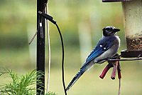 Blue Jay. Image taken with a Nikon N1V3 camera and 70-300 mm  VR lens