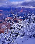 Snow-covered Pinyon along the south rim, Grand Canyon National Park, Arizona