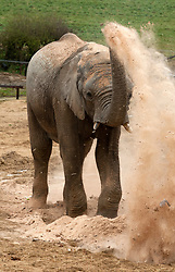 © Licensed to London News Pictures;23/06/2021; Wraxall, North Somerset, UK. FILE PICTURE dated 03/04/2015 of a male African bull elephant named M'CHANGA, then aged 6, blowing sawdust while enjoying treats such as brussel sprouts hidden in the pile of sawdust at Noah's Ark Zoo Farm. The zoo announced yesterday that they have launched an investigation after M'Changa now aged 12 was killed last week after an incident with another bull elephant. The zoo says that the incident occurred in the early hours of Friday 18/06/2021 when another bull elephant went into the area where M'Changa was asleep and an attack followed that left M'Changa with fatal injuries. The other two bull elephants at the zoo, Shaka and Janu, were unharmed. The zoo has launched an  investigation into the incident and is reviewing the future of their elephant programme. The announcement of M'Changa's death comes a day after news that new laws could stop new elephants from being brought to UK zoos and safari parks in future. The Government is to receive a report on the welfare of elephants in captivity which is believed to advise against keeping elephants in zoos as it causes them mental illness and other physical issues such as arthritis and the spaces in which they are kept are too small. New laws may say that as captive elephants die out they cannot be replaced. Noah's Ark Zoo Farm has one of the largest elephant facilities in the UK and Europe and their Elephant Eden area has been commended for best practice with specialist elephant keepers, 20 acres of space to roam and extensive efforts made for enrichment and sustaining healthy and active elephants who play an important role as a male population that can be moved to other zoos as breeding bulls to contribute to breeding programmes. Photo credit: Simon Chapman/LNP.