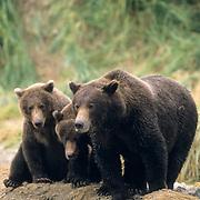 Alaskan Brown Bear, (Ursus middendorffi)  Mother wth cubs near her side. Katmai National Park. Alaska.
