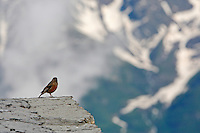 Russia, Caucasus. Alpine Accentor - Prunella collaris - on Mount Elbruz.