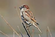 Bird, House Sparrow, Passer domesticus, Surveying The Way Forward