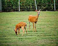 Fawn & Doe. Image taken with a Fuji X-T3 camera and 200 mm f/2 OIS lens (ISO 320, 200 mm, f/2.5, 1/420 sec).