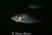 Australian salmon, Arripis trutta or Arripis truttacea, Victoria, Australia