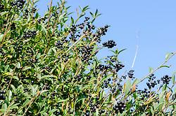 Wilde liguster, Ligustrum vulgare