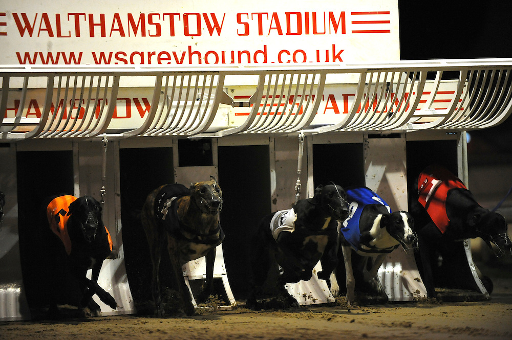 Walthamstow, England.  August 16, 2008.  Greyhounds bound out of the starting gates at Walthamstow stadium on Saturday night.  After a 75 year history the dog racing stadium closed as a result of diminishing profits and poor attendance.  Record crowds flocked to take in the festivites one last time.