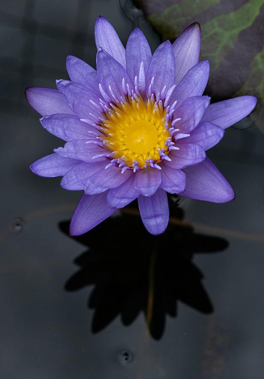 Regal Waterlily