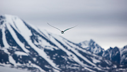 Arctic Tern (Sterna paradisaea) in front of mountain, Svalbard