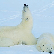 Polar Bear, (Ursus maritimus) Portrait of mother and cub resting. Churchill, Manitoba. Canada.