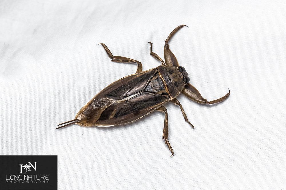 Giant Water Bug - Lethocerinae