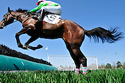 27 March 2010 : William Dowling and Whistling Deputy clear one of the hurdles in the Camden Plate Maiden Hurdle race.