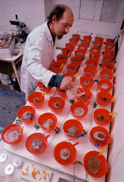 Terry Manning paleontologist from Leicester, England patiently prepares fossilized embryos with a diluted solution of acetic acid which eats away matrix at a few thousandths of an inch per day over a year-long process.