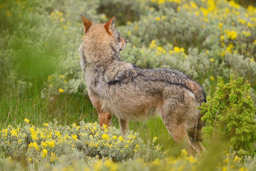 Wolf, Canis lupus, near Deven, Western Rhodope mountains, Bulgaria