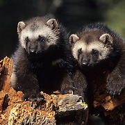 Wolverine kits during spring in the Rocky Mountains of Montana. Captive Animal