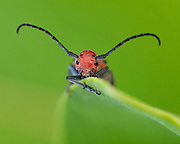 This long–horned beetle is one of the few insects that can feed on the milkweed plant. This red beetle eats the leaves, the buds and the flowers, easily tolerating the toxins in this poisonous plant.<br /> <br /> Red Milkweed Beetle (Tetraopes tetrophthalmus)