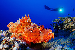 Scorpaenopsis oxycephala, Baertiger Drachenkopf und Taucher, Tassled scorpionfish and scuba diver, Brother Inseln, Rotes Meer, Ägytpen, Brother Islands, Brothers, Red Sea, Egypt, MR Yes