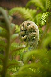 Unfurling crown of tree fern - Dicksonia antarctica AGM