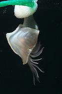 Buoy Barnacle - Dosima fascicularis
