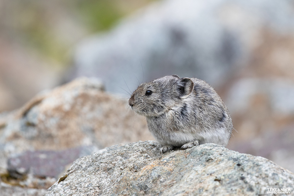 A Collared Pika rests on a rock in Alaska's Talkeetna Mountains.