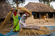 Monindro Mondol and his wife thesh rice in their front yard as the harvest seasons is in full flow, Sunderbans delta, West Bengal, India.