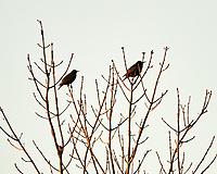 European Starling (Sturnus vulgaris). Image taken with a Nikon D850 camera and 500 mm f/4 VR lens.