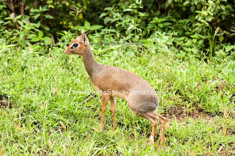 Kirk's dik-dik (Madoqua kirkii) Photographed in Tanzania