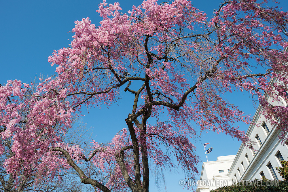 A pink flowering cherry blossom tree in front of the Federal Reserve Building in Washington DC.