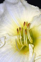 06 Aug 2007: Lily Bloom, shows pollen on stamen.