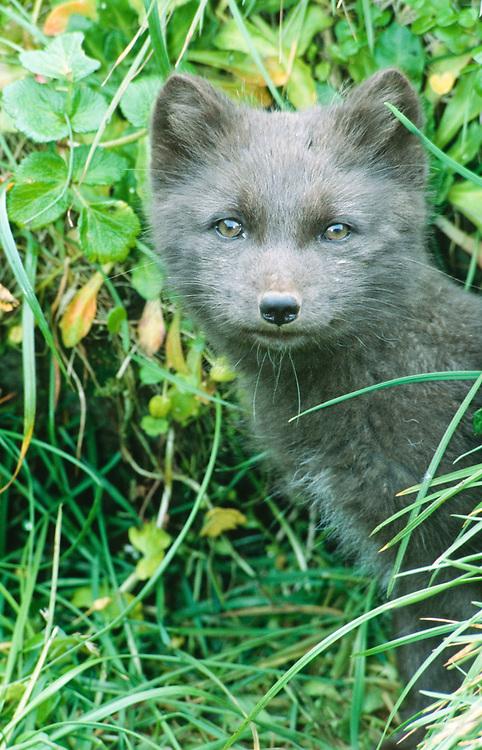 Alaska. Arctic Fox (Alopex lagopus) Bering Sea. This pup is in the entrance to his den.