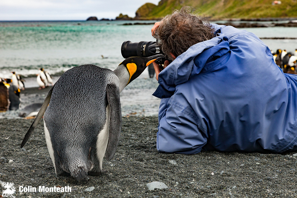 King penguin inspects photographer, Sandy Bay, Macquarie Island, World Heritage Site