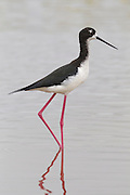 A Hawaiian stilt (Himantopus mexicanus knudseni) wades in the water of the Kealia Pond National Wildlife Refuge near Kehei, Maui, Hawaii. The Hawaiian stilt, or ae'o in Hawaiian, is an endangered subspecies of the black-necked stilt and has the longest legs in proportion to its body of any bird in the world. Kealia Pond National Wildlife Refuge is a coastal salt marsh. During the rainy winter season, the pond swells to more than 400 acres. It shrinks to about half that size in the dry summer, leaving a slaty residue behind as it dries out.