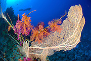 Soft corals in deep water at Ras Mohammed national Park