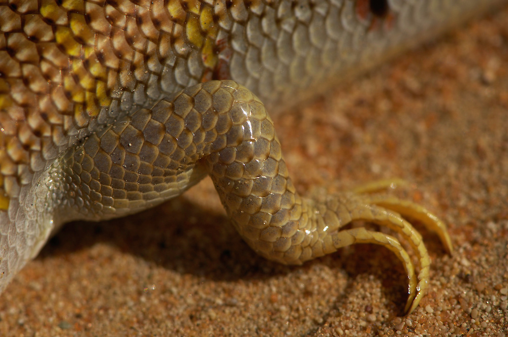 Sand Fish Lizard, Scincus scincus, Dubai Desert Conservation Reserve, Dubai