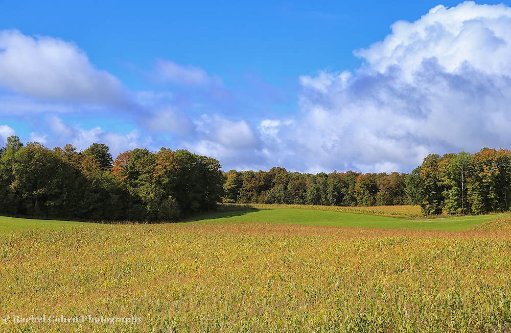 """""""Heartland Harvest"""" <br /> <br /> Amazing view of cornfields, trees, blue skies, and wonderful puffy white clouds! A beautiful harvest time scene in Michigan!"""